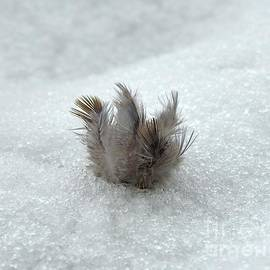 Tuft of Feathers in Snow by Carmen Macuga