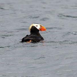 Tufted Puffin Swimming In Hallo Bay by Mark Hunter