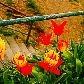 Tulip Bloom By  Stone Stairs by Loretta S