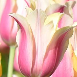 Tulip Time 2 by Linda Benoit