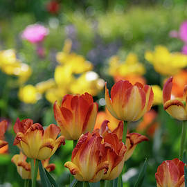 Tulips and Bokeh by Mary Ann Artz