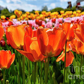 Tulips in Slovenia by Norman Gabitzsch