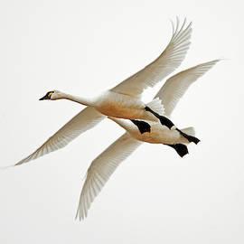 Michael Trewet - Tundra Swan Flight 1269  Cygnus columbianus