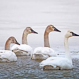 Michael Trewet - Tundra Swan Immature 8178   Cygnus columbianus