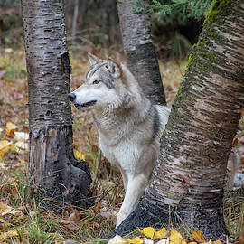 Tundra Wolf in the Birch Trees by Teresa Wilson