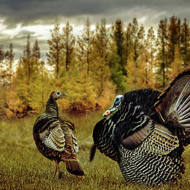 Turkey Courtship by Patti Deters