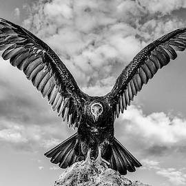 Turkey Vulture Bw by Rick Mosher