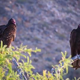 Turkey Vulture Couple by Judy Kennedy