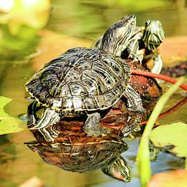 Turtle face off by Geraldine Scull