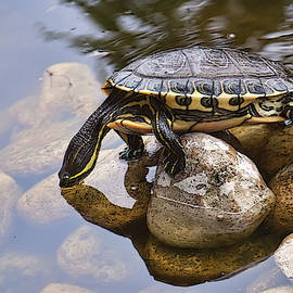 Turtle Drinking Water by Tatiana Travelways