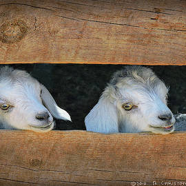 Twin Baby Goats Navajo Nation by R christopher Vest