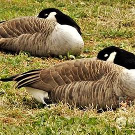 Rory Cubel - Twins      Resting   Canadian Geese          October              Indiana