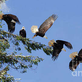 Two Bald Eagles  by Bob Christopher