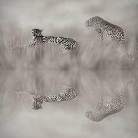 Two Cheetahs - B W by Donna Kennedy