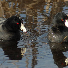 Two Coots by Jerry Griffin