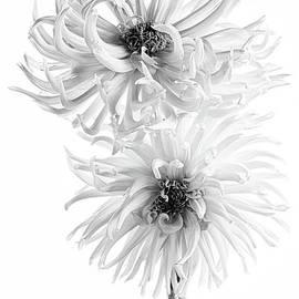 Two Dahlias Monochrome by Ann Garrett