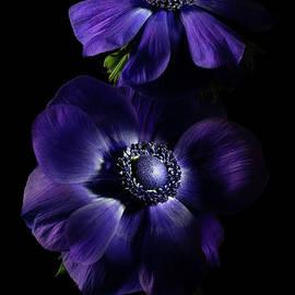 Two Dark Anemones 2 by Ann Garrett