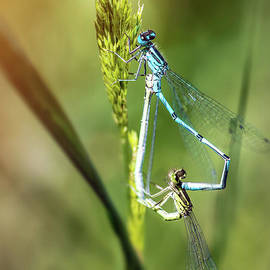 Two Dragonfly insect mating perched on stem of weed by Gregory DUBUS