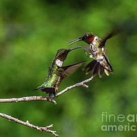 Two Dueling Male Ruby-throated Hummingbirds by Cindy Treger