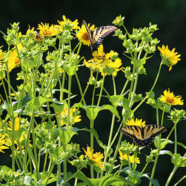 Two Eastern Tiger Swallowtails by Living Color Photography Lorraine Lynch