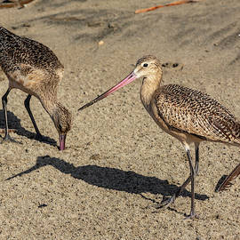 Two Marbled Godwits 9/23 by Bruce Frye