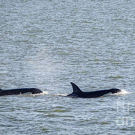 Two Orcas on the move by Jeff Swan
