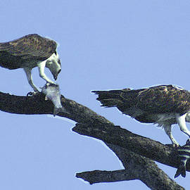 Two Osprey with Fish by Jerry Griffin