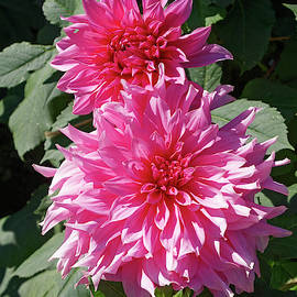 Two Pink Dahlias by Sally Weigand