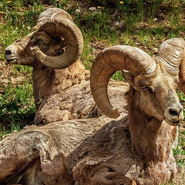 Two Resting Bighorn Sheep by Robert Bales