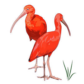 Two scarlet Ibises - Vector  by Caids Ados