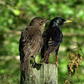 Two Starlings Adult and Juvenile by Lyuba Filatova