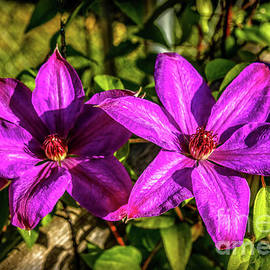 Two Vignette Purple Clematis by Robert Bales