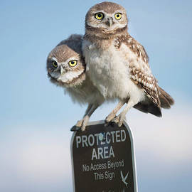 Two young juvenile burrowing owls perched atop a protected area sign by Georgia Evans