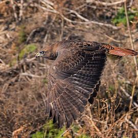 Undercover Hawk by Loree Johnson