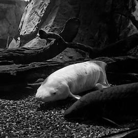 Unique Albino And One More Lung Fish by Miroslava Jurcik