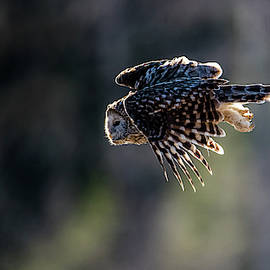 Ural owl flying against the light to catch a prey  by Torbjorn Swenelius