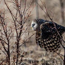 Ural owl flying between the bushes by Torbjorn Swenelius