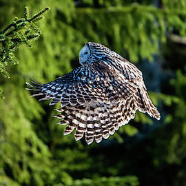 Ural Owl Flying In The Fir Forest With Sunshine On Its Back by Torbjorn Swenelius