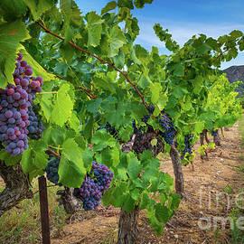 Vaucluse Vineyard by Inge Johnsson