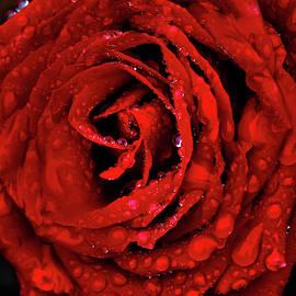 Velvet Rose by Shane Bechler