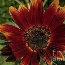 Velvet Sunflower by Linda Howes