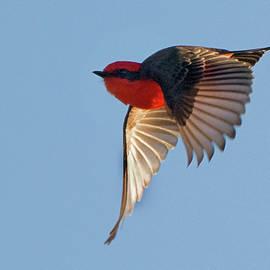 Vermilion Flycatcher 3682-020119 by Tam Ryan