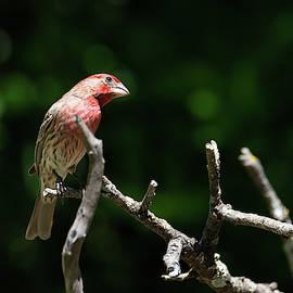 Vibrant Male House Finch by Debra Martz