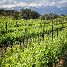 Vineyards Of Crete by Scott Kemper