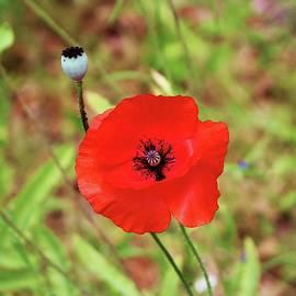Vivid Red Poppy  by Cynthia Guinn