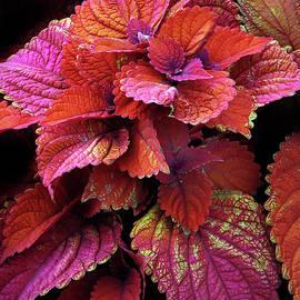 Crimson Coleus   by Jessica Jenney