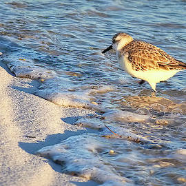 Wading Sanderling by Bill Chambers