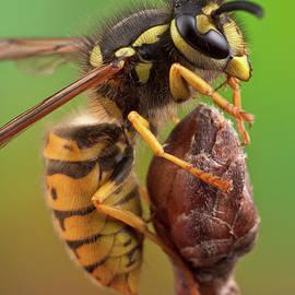 Wasp Closeup by Marco Fischer