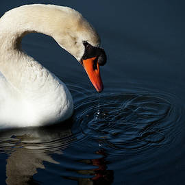 Water Drips From Swan by Karol Livote