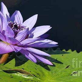Water Lily - A Vision in Purple by Dora Sofia Caputo Photographic Design and Fine Art
